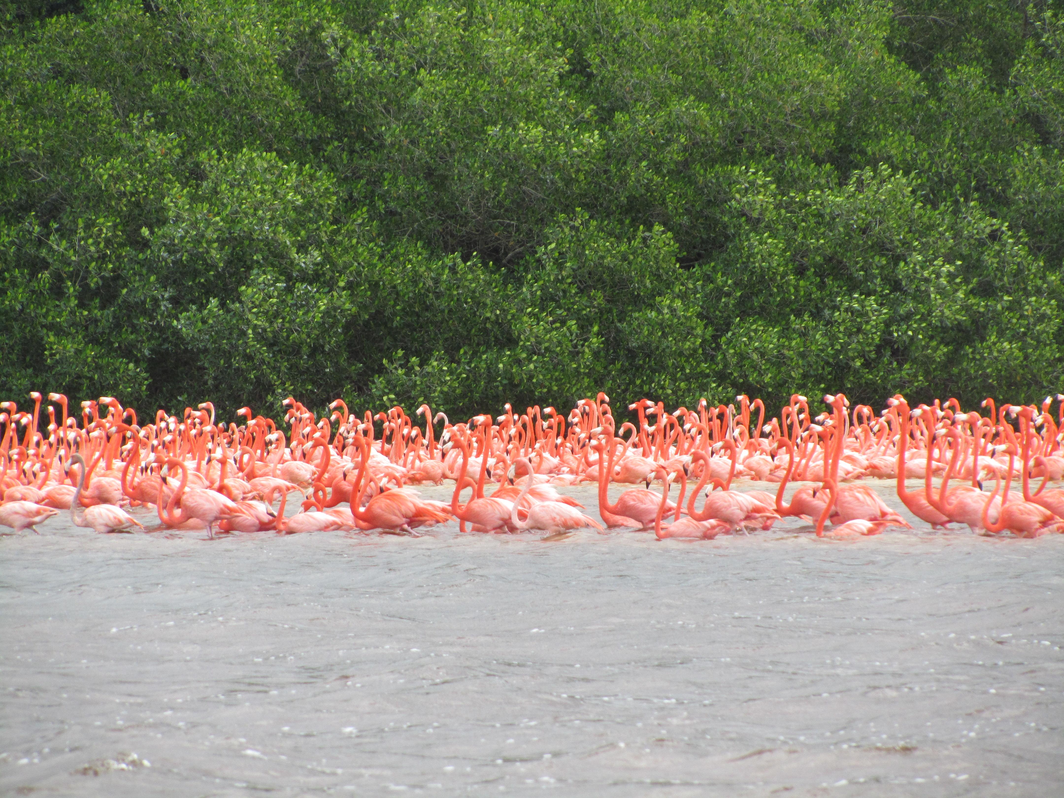 Flamingo's Celestun